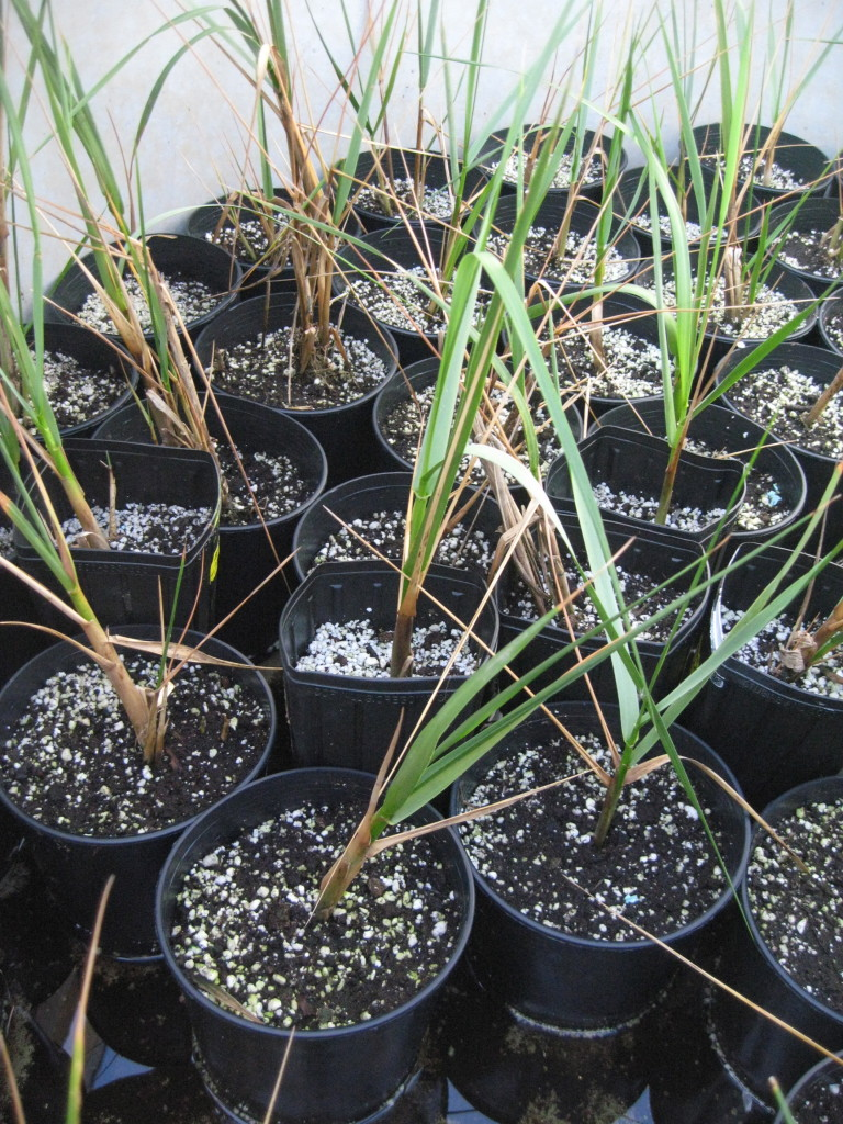 Cordgrass being experimentally grown in the nursery