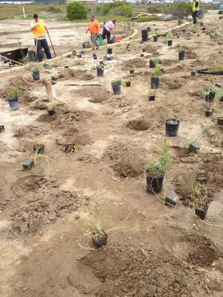 Planting of native plants at upland adjacent to a saltmarsh