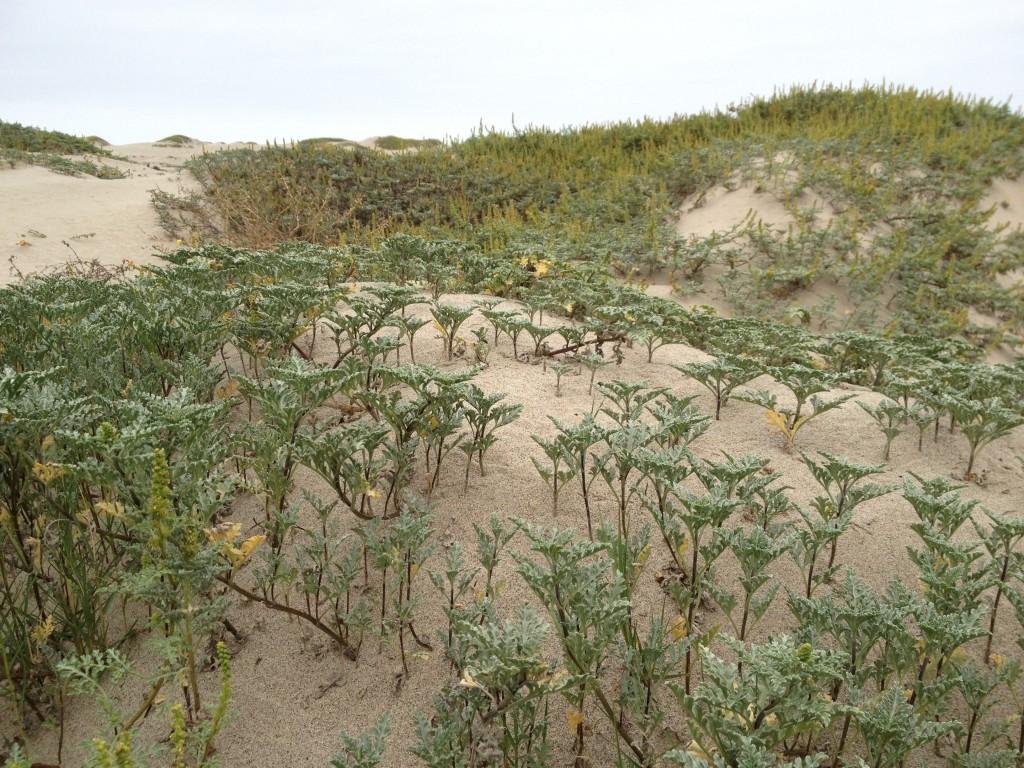 Restored Beach Vegetation